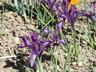 Iris 'Pauline' - Netted Iris