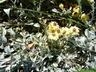 Helichrysum argyrophyllum - Golden Guinea Everlasting Strawflower