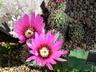 Echinocereus fendleri - Fendler Hedgehog Cactus Pinkflower Hedgehog Cactus