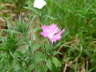 Dianthus [sold as FIRST LOVE (R)] - Dianthus
