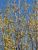 Cornus mas - Cornelian Cherry Corneliancherry Dogwood
