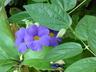 Thunbergia battiscombei - Blue Glory Blue Trumpet Vine Bush Thunbergia