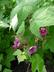 Rubus odoratus - Flowering Raspberry Purple Flowering Raspberry Thimbleberry