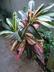 Codiaeum variegatum var. pictum - Croton