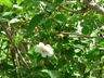Rosa 'Schneezwerg' - Rugosa Rose Turkestan Rose