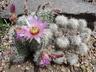 Echinocereus reichenbachii - Lace Cactus Lace Hedgehog Cactus