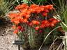 Echinocereus triglochidiatus - Kingcup Cactus Claret Cup Cactus