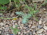 Sedum 'Blue Spruce' - Stonecrop