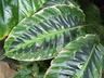 Calathea plowmannii