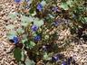 Phacelia campanularia - California Bluebell Desert Bluebells
