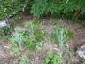 Elymus magellanicus - Blue Wheatgrass Magellan Wheatgrass