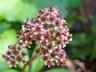 Rodgersia 'Fireworks' - Rodger's Flower