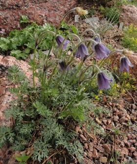 anemone pulsatille culture