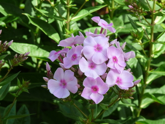 Phlox Paniculata Ditomfav Sold As Candy Store Cotton