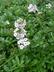 Androsace lanuginosa - Wooly Rock Jasmine