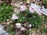 Androsace sempervivoides - Sempervivum-Leaved Rock Jasmine