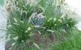 Pennisetum alopecuroides 'Hameln' - Dwarf Fountain Grass Chinese Fountain Grass