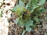 Salvia cryptantha - Sage