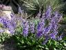 Salvia transsilvanica - Transylvania Sage Meadow Sage
