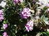 Daphne sericea - Silky Daphne