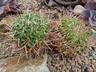 Echinofossulocactus erectocentrus