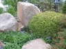 Buxus microphylla - Littleleaf Boxwood