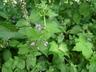 Calamintha grandiflora - Large-Flowered Calamint