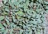 Salvia multicaulis - Many Stemmed Sage False Whorled Sage