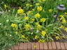 Allium moly - Lily Leek Yellow Onion