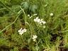 Androsace obtusifolia - Rock Jasmine Rock Jessamine