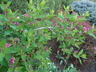 Lonicera tatarica 'Arnold Red' - Tatarian Honeysuckle