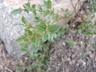 Salix polaris - Polar Willow
