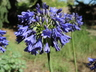 Agapanthus 'Blue Yonder' - Lily Of The Nile