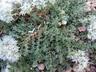 Paronychia capitata - Algerian Tea