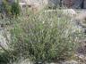 Salix brachycarpa - Barren Ground Willow Gray Leaf Willow Shortfruit Willow