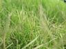 Cynodon 'PWIN04S' [sold as DOG TUFF (TM)] - Grass