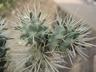 Cylindropuntia echinocarpa - Golden Cholla Silver Cholla