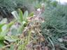 Bellevalia longistyla