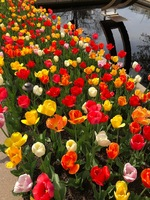 Tulip combination