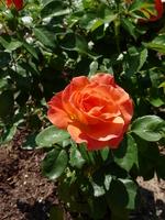 Rose in Ellipse Garden