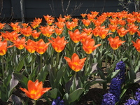 Orange tulips in April 2018 - Amazon