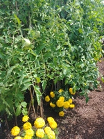 Le Potager in July, 2018 - tomatoes and marigolds