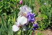 Ann Montague's Iris and Daylily Garden