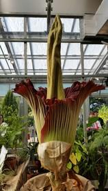 N01613d21 SZ280 - Denver Botanic Gardens Corpse Flower Time Lapse