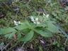 Cornus canadensis - Bunchberry Dwarf Cornel