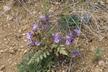 Phacelia bakeri - Baker's Phacelia Baker's Scorpionweed