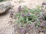 Phacelia hastata - Scorpionweed Silverleaf Phacelia Silverleaf Scorpionweed